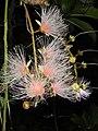 穗花棋盤腳 Barringtonia racemosa - panoramio.jpg