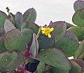 紫章 Senecio crassissimus -香港花展 Hong Kong Flower Show- (9213322233).jpg