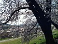 背割堤 - panoramio (15).jpg