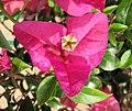 胭脂紅葉子花 Bougainvillea China Beauty -深圳蓮花山公園 Shenzhen Lianhuashan Park, China- (11205730843).jpg
