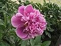 芍藥-紫獅子 Paeonia lactiflora 'Purple Lion' -北京植物園 Beijing Botanical Garden, China- (12404198814).jpg