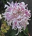 菊花-春水桃花 Chrysanthemum morifolium 'Spring Water Peach Flower' -中山小欖菊花會 Xiaolan Chrysanthemum Show, China- (11961466823).jpg