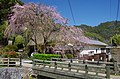 賀名生皇居跡のしだれ桜 Weeping cherry tree 2014.3.28 - panoramio.jpg