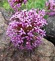 長柱花 Phuopsis stylosa -哥本哈根大學植物園 Copenhagen University Botanical Garden- (36871613642).jpg
