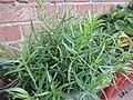 -2019-08-05 Tarragon, (Artemisia dracunculus), Trimingham.JPG