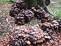 -2019-10-23 Honey fungi (Armillaria) around a tree stump, Pond plantation, Trimingham (2).JPG