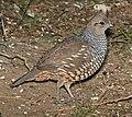 068 - SCALED QUAIL (1-15-09) falcon lake st park, tx (8719265562).jpg