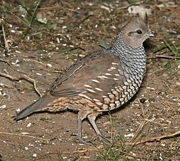 068 - SCALED QUAIL (1-15-09) falcon lake st park, tx (8719265562).jpg