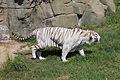 08-2011. Panthera tigris tigris - Texas Park - Lanzarote -TP06.jpg
