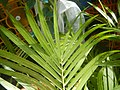 0998Ornamental plants in the Philippines 60.jpg