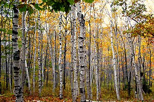 Betula papyrifera - Paper birch forest in Maine