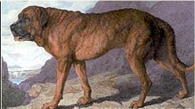 This shows an 1815 painting of an Alpine Mastiff.