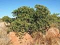 1 Terminalia hadleyana subsp. carpentariae.jpg