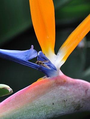 Strelitzia reginae - Image: 2010 03 05 13 16 21 Portugal Jardim Botânico da Madeira