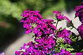 2010-06-09 verbena hybrida magellana 02.jpg