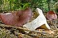 2010-10-10 Russula queletii Fr 111967.jpg