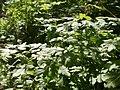 20120701Chaerophyllum temulum1.jpg