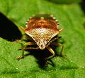 2013-06-04 15-34-47-Hemiptera.JPG