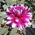 2013.06 Dahlia hybrid 3.jpg