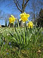 20130402Narcissus pseudonarcissus3.jpg