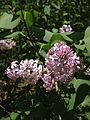 2014-05-12 13 04 42 Lilac blossoms along Lower Ferry Road in Ewing, New Jersey.JPG