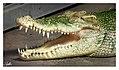 2014-08-28 - Krokodil, Wilhelma.jpg