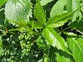 20140425Parthenocissus quinquefolia2.jpg