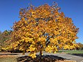 2016-11-18 11 41 10 Norway Maple displaying autumn foliage in Franklin Farm Park in the Franklin Farm section of Oak Hill, Fairfax County, Virginia.jpg