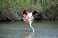 20170425 141 Camargue Flamingo (33621796054).jpg