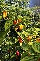 20171014 - Capsicum chinense Jacq. 'Habanero NuMex Suave Orange'.jpg