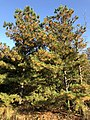 2018-11-17 14 26 32 Loblolly Pines undergoing old needle abscission in late autumn along a walking path in the Franklin Farm section of Oak Hill, Fairfax County, Virginia.jpg