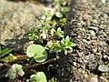 20180223Arenaria serpyllifolia1.jpg