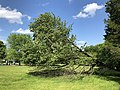 2019-05-26 16 48 21 A Cherry tree broken during a storm, with all the lower leaves having been eaten by deer, along a walking path in the Franklin Glen section of Chantilly, Fairfax County, Virginia.jpg