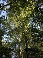 2019-06-11 07 40 48 View up into the canopy of several American Sycamores along a wooded walking trail in the Franklin Glen section of Chantilly, Fairfax County, Virginia.jpg
