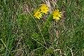 20190511 Miłki wiosenne w rezerwacie przyrody Skorocice - 1018 2471 DxO.jpg