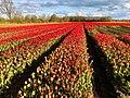 20210507 tulpenvelden2 in Balloo.jpeg