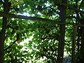 2088.Holländischer Garten-Mit Weinreben überwachsene Gänge als natürlicher sonnenschutz-Bildergalerie.JPG