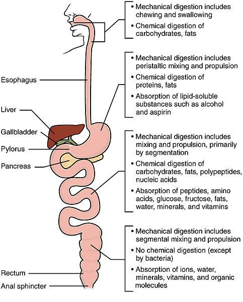 urutan proses pencernaan makanan