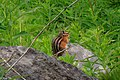 2nd Sun Peaks flower hike of the year...the cute..and ubiquitous Chipmunk... (28293319650).jpg