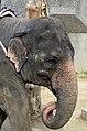 50 Jahre Knie's Kinderzoo - Elephas maximus 2012-10-03 15-37-18.JPG