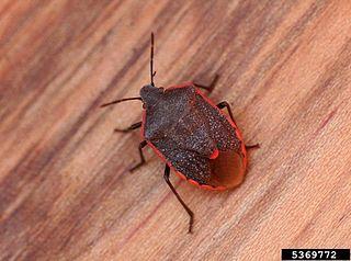<i>Chlorochroa ligata</i> species of insect