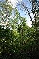 80-361-5044 Kyiv Opolchensky Oak SAM 0268.jpg