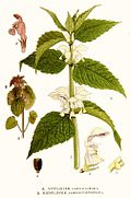 95 Lamium album, L. purpureum
