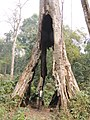A giant Tetrameles nudiflora AJTJ.jpg