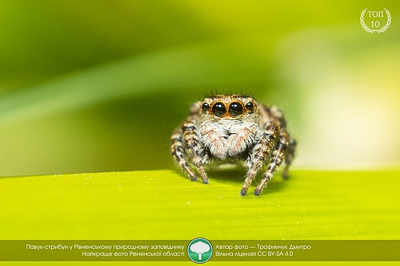 A jumping spider in Ukraine.jpg