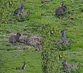 A photocollage of some young rabbits at Hoge Erf Schaarsbergen - panoramio.jpg