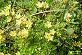 A saxifrage ? (Gru) (31960541045).jpg