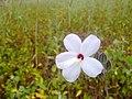 A whiteflower.jpg