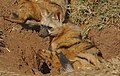 Aardwolf, Proteles cristata, at Lion and Rhino Reserve, Gauteng, South Africa (47987200178).jpg