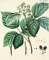 Abbildung der wilden Bäume, Stauden und Buschgewächse, welche nicht nur mit Farben nach der Natur vorgestellet, sondern auch kurz und gründlich beschrieben werden (1767) (14576750349).jpg